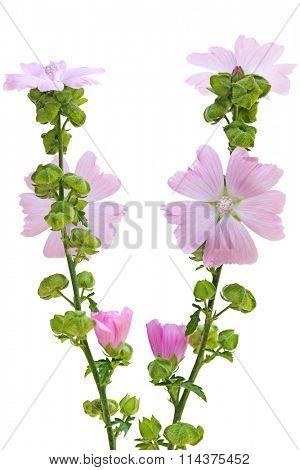 Pink Musk Mallow Malva moschata flower plant