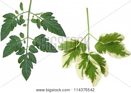 Botanical tomato leaf isolated on white background