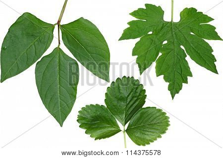 Long Bean, bitter melon and strawberry Leaf isolated on white background