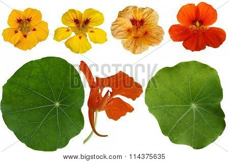 Set of Nasturtium Dwarf Jewel Capuchina isolated on white background