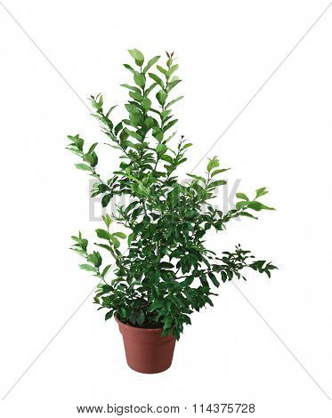 Lime citrus plant in the pot isolated on white background