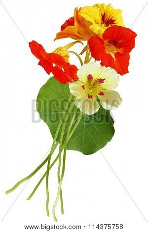 Nasturtium flower bouquet isolated on white background