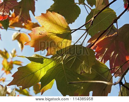 Foliage Of Guelder-rose