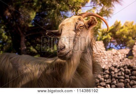 Greek Domestic Goat