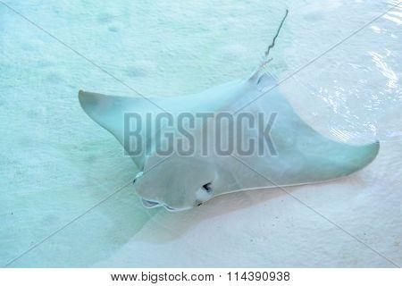 Atlantic Stingray Or Dasyatis Sabina Is A Species Of Stingray In The Family Dasyatidae