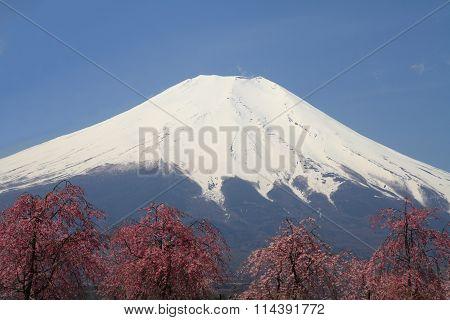 Mt. Fuji and cherry blossoms in Yamanaka lake Yamanashi Japan
