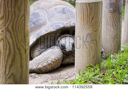 Giant Tortoise Hid Behind Bars.