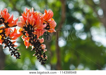 Bastard Teak Flower