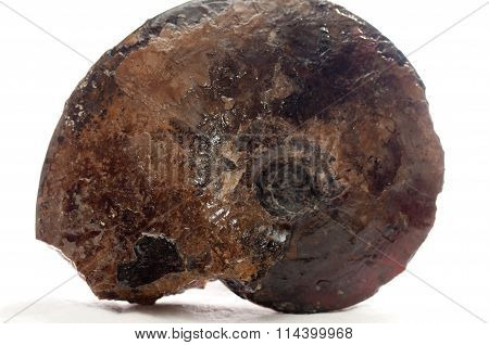 Ammonite Shell Fossil