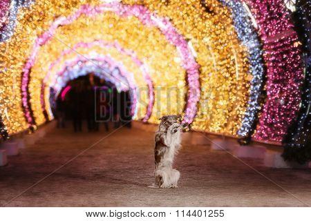 Border Collie Illuminated Light