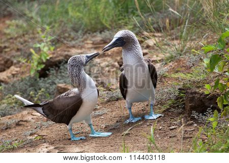 Pair of blue footed boobies performing mating dance,