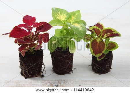 Seedlings On A Light Wooden Background