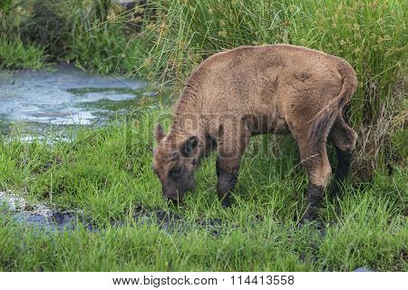 Young calf of wisent or European wood bison in natural habitat