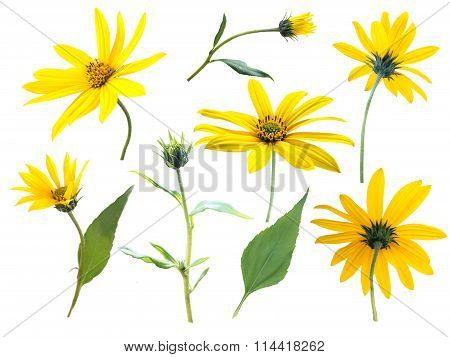Jerusalem Artichoke Or Sunroot Yellow Flowers, Buds And Leaves