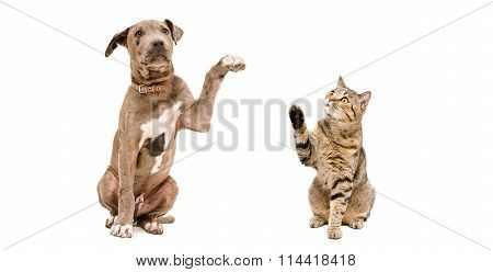Funny Pitbull puppy and a cat Scottish Straight