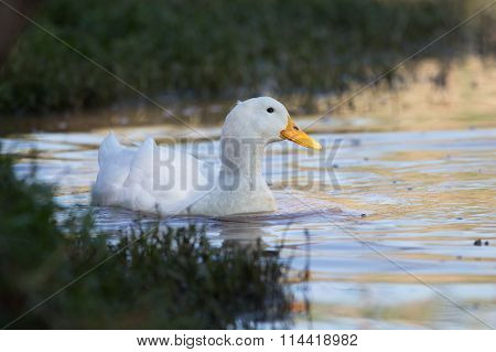Swimmming White Domesticated Duck In Nature.