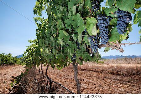 Grapes, vineyard row