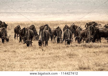 A large group of  gnu in the Ngorongoro crater, Tanzania, Africa.