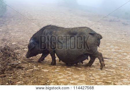 Pregnant Wild boars foraging