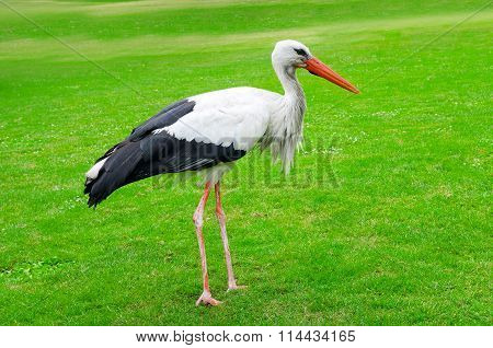 Stork On A Background Of Green Lawn