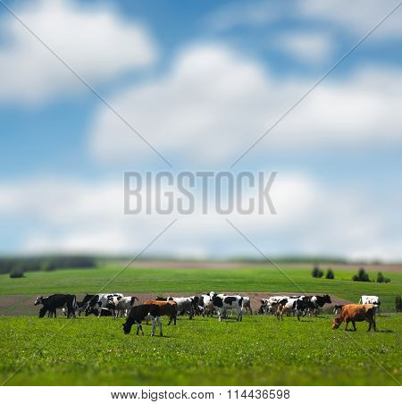 Cows grazing on the spring sunny meadow. Sky and grass are blurred, focus on the herd only