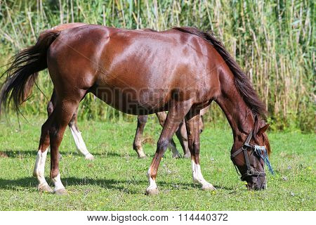 Peacefull Arabian Horse Grazing Fresh Green Grass