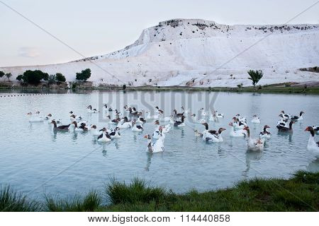 Geese on the lake calcified limestone terraces on background Pamukkale Turkey