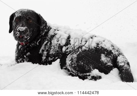 Black Labrador Dog Snow Covered