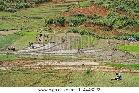 people are cultivate the paddy field, Sa Pa