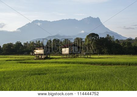 Kg.Tambulion Kota Belud landscape with rice field & Mount Kinabalu at far background during morning.