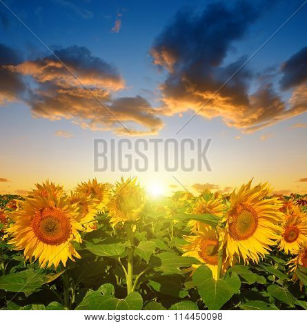 Sunflower field in the sunset.