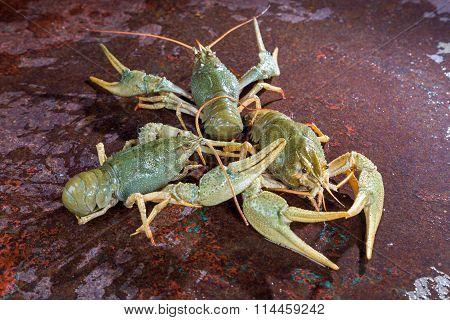 Three live crayfish