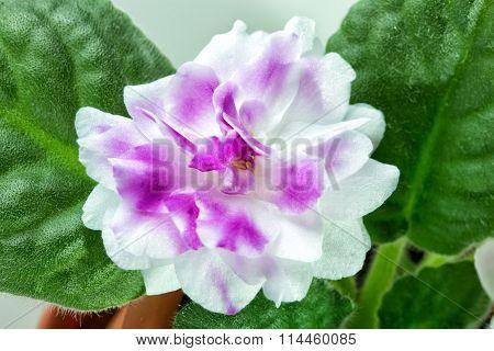 African Violet aka Saintpaulia