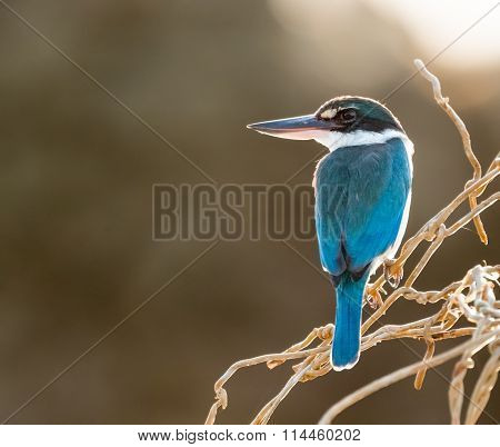 Collared Kingfisher on Branch in Morning Light