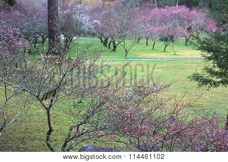 Pink and white plum flowers