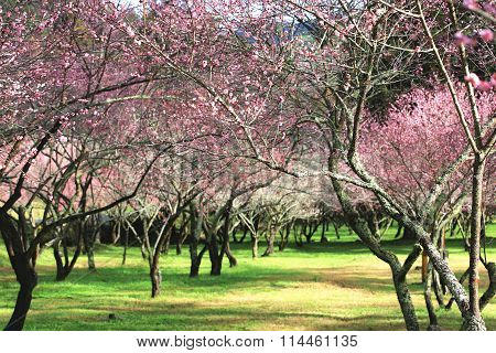 Pink plum flowers