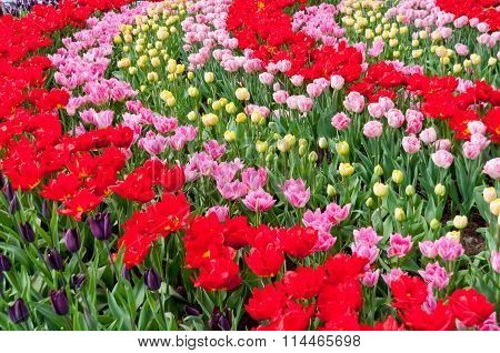 Beautiful spring flowers in Keukenhof park in Netherlands (Holland). Colorful tulips flowerbed