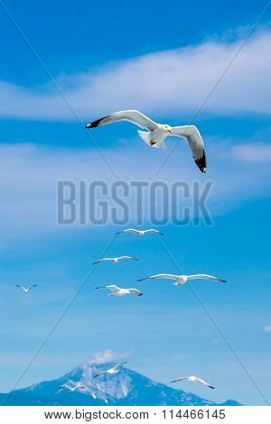 Many seagulls flying together after one leader