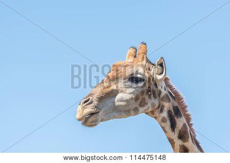 Giraffe In The Franklin Nature Reserve
