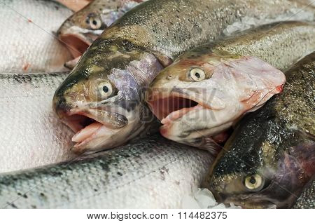 Trout With Open Mouth