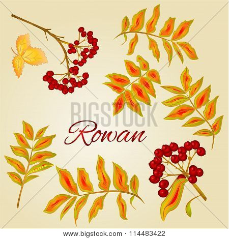 Rowan Leaves And Berries Vector