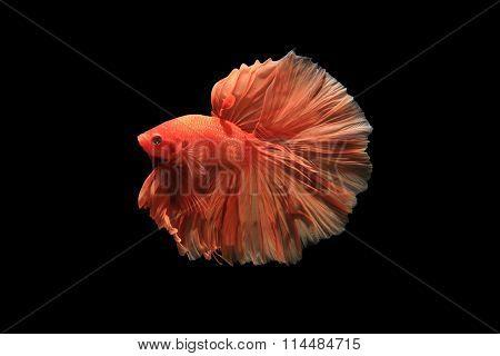 Orange Siamese Fighting Fish Isolated On Black Background