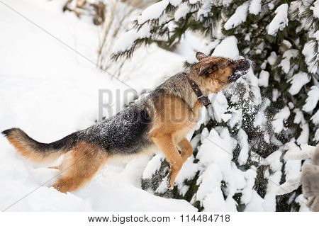 German Shepherd running in winter