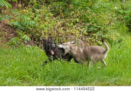 Grey Wolf (canis Lupus) Pups At Play