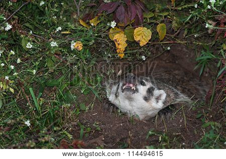 North American Badger (taxidea Taxus) Snarls Up