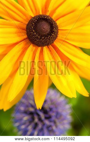 A close up of a black eyed susan flower with  a globe thistle in the background.