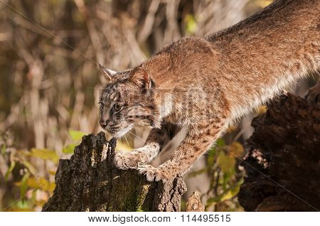 Bobcat (lynx Rufus) Stretches Out