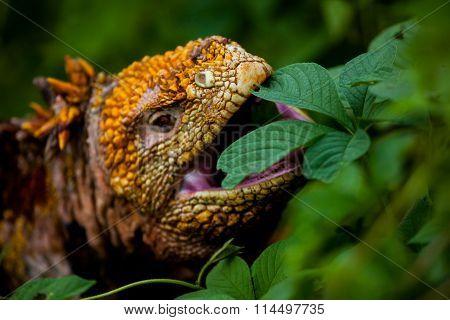 Galapagos land iguana eating leaves