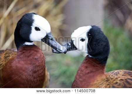 White-faced Whistling Ducks, Dendrocygna viduata