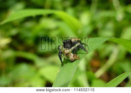 Menemerus Spider Eating Its Prey